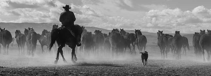A cowboy on horseback herding cattle with his dog