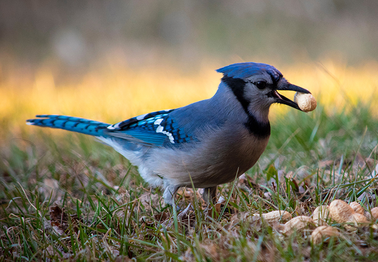 A blue jay in the grass with a peanut in its mouth