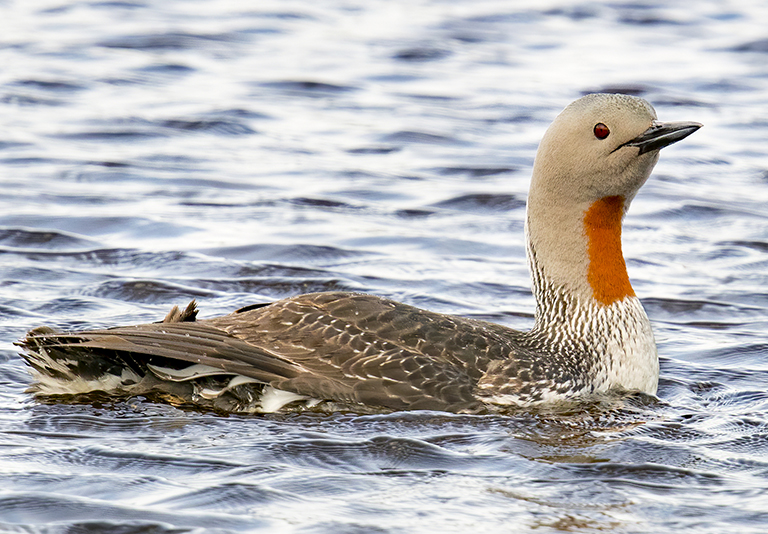 A red-throated loon sitting on the water
