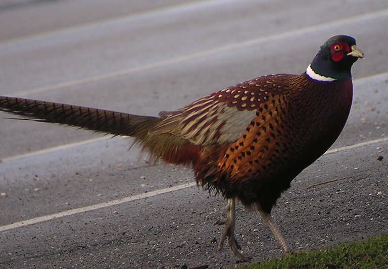 A ring-necked pheasant