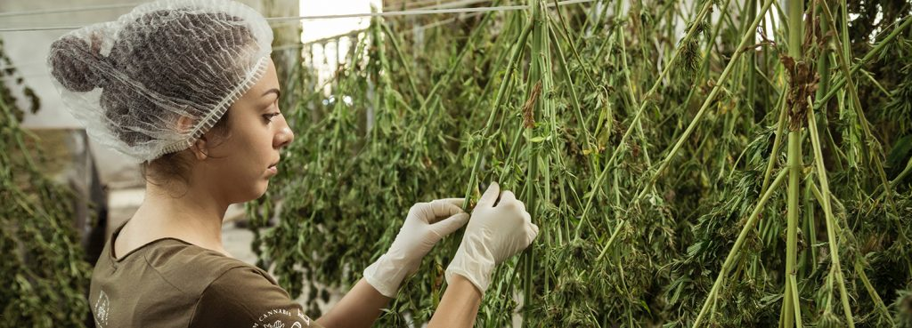 A woman in a hairnet harvesting a cannabis crop